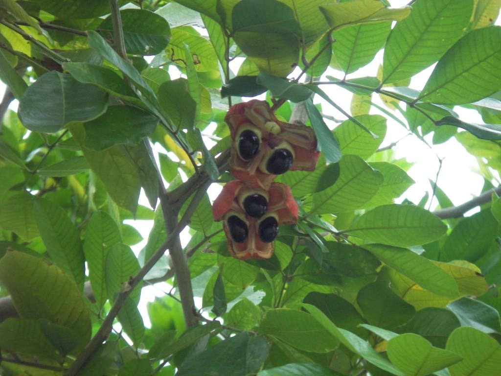 Ackee tree Jamaica