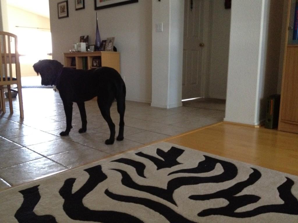 Fearful foster dog Adele