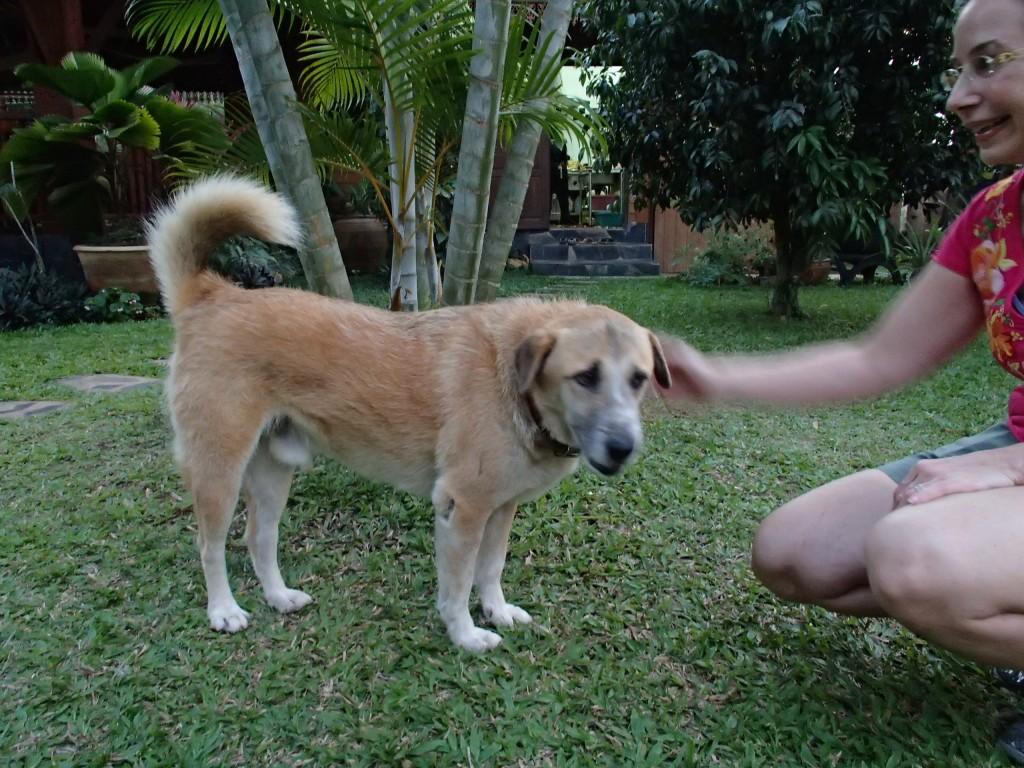 Viang Yonok dog