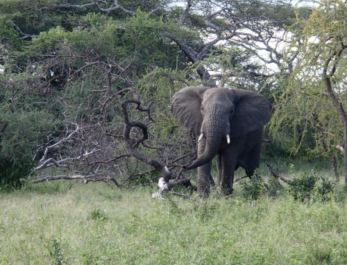 Elephant Conservation: can we save the elephants from extinction?