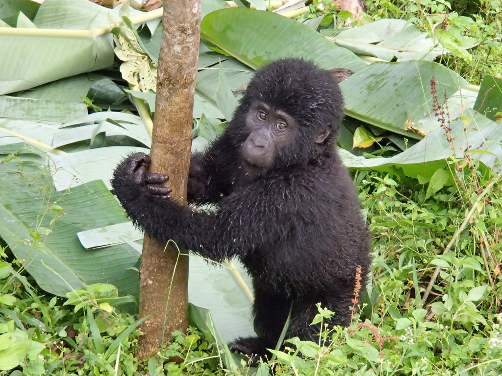 mountain gorilla baby at Bwindi Impenetrable National Park in Uganda