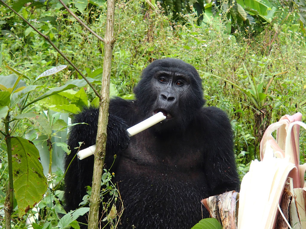 mountain gorilla in Bwindi Impenetrable National Park