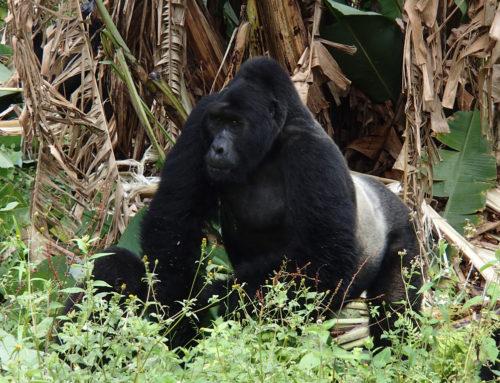 Mountain Gorilla Population Reaches 1000