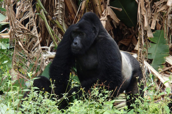 Mountain Gorilla Population Reaches 1000
