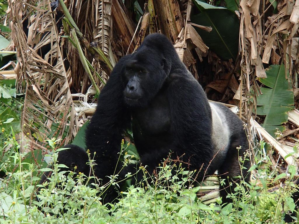 Mountain gorilla silverback Kabukojo