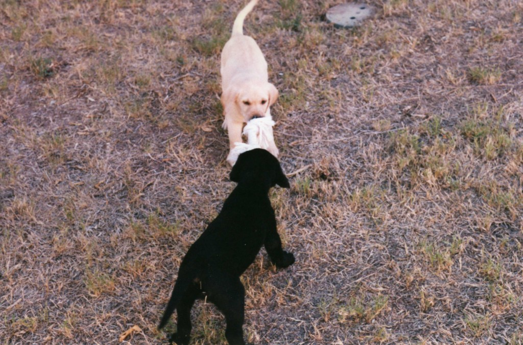 Piper and Cain as puppies