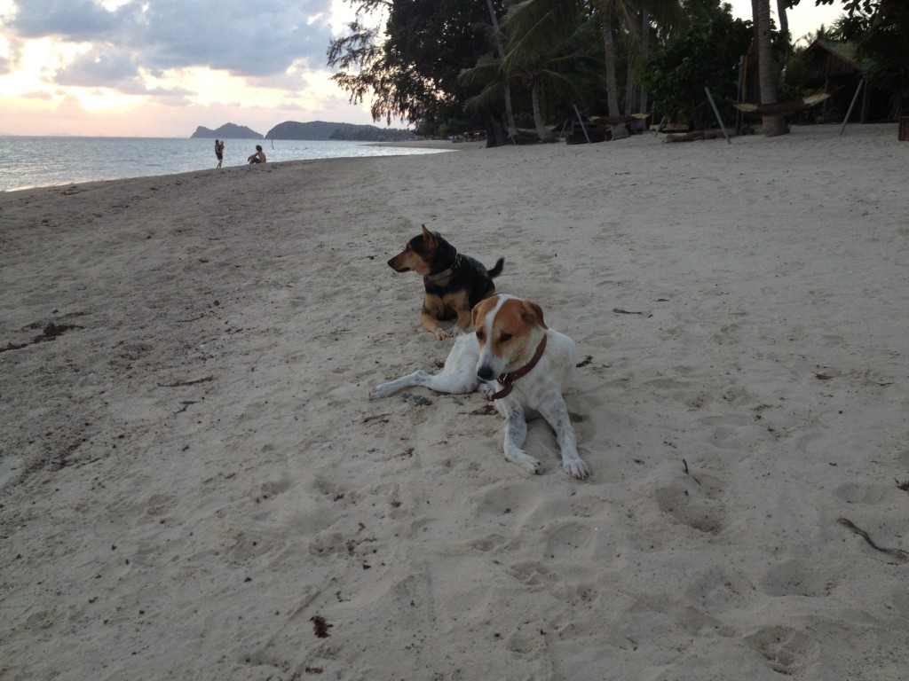 Koh Phangan dogs