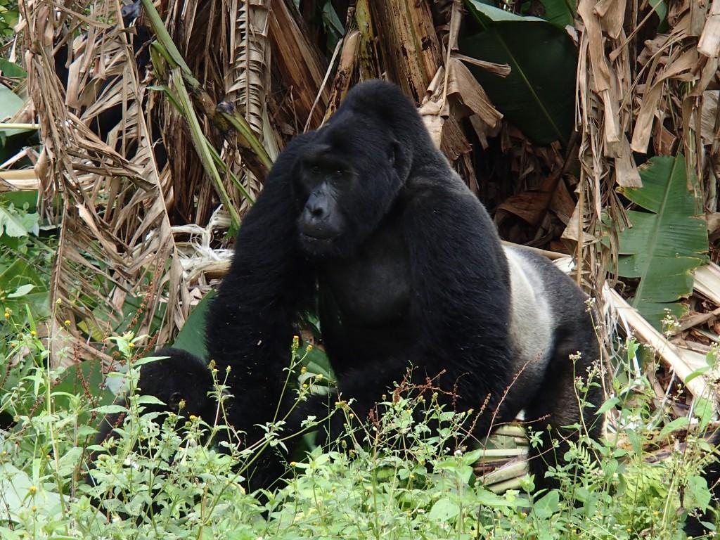 Mountain gorillas Uganda - silverback and baby