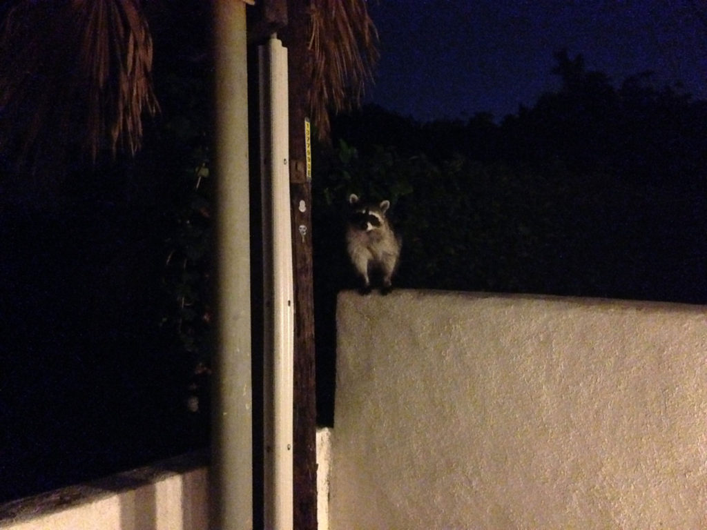Beverly Hills raccoon