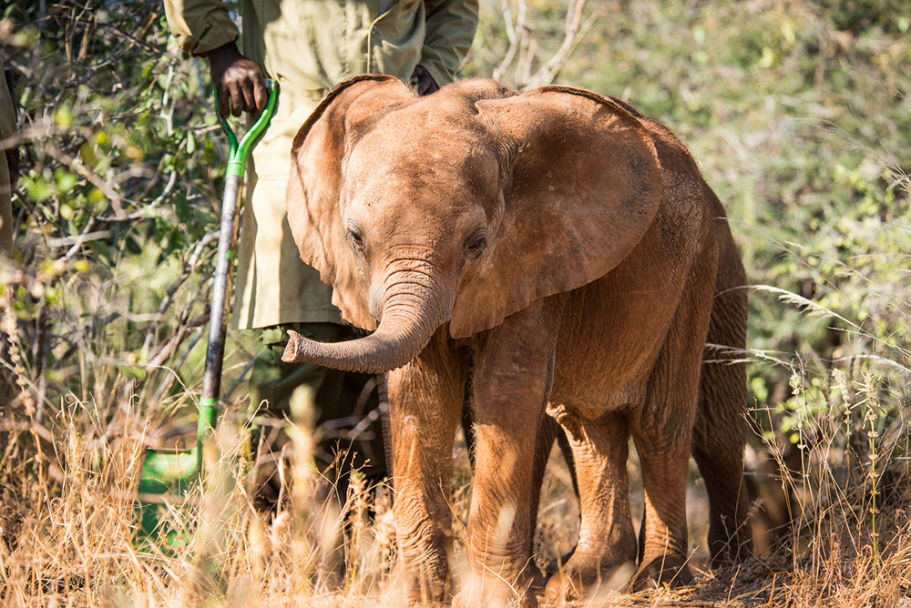orphan elephant Kindani