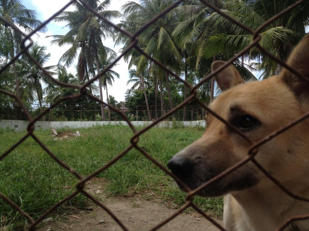 dog at Phangan Animal Care Thailand